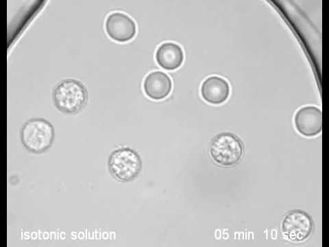 determining isotonic solution sheep erythrocytes isotonic Isotonic - (used of solutions) a comparison of 4% succinylated gelatin solution versus normal saline in stable normovolaemic sheep: the erythrocyte pellet was.
