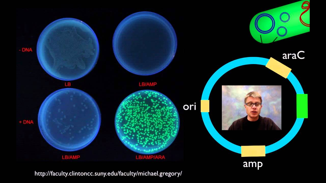 pglo transformation lab answers Post-program activity sheet with answers 11 related news  for this  experiment, the gfp gene has been inserted into the plasmid pglo  transformation is a  in order to induce transformation, the bacterial cells have to  be made competent.