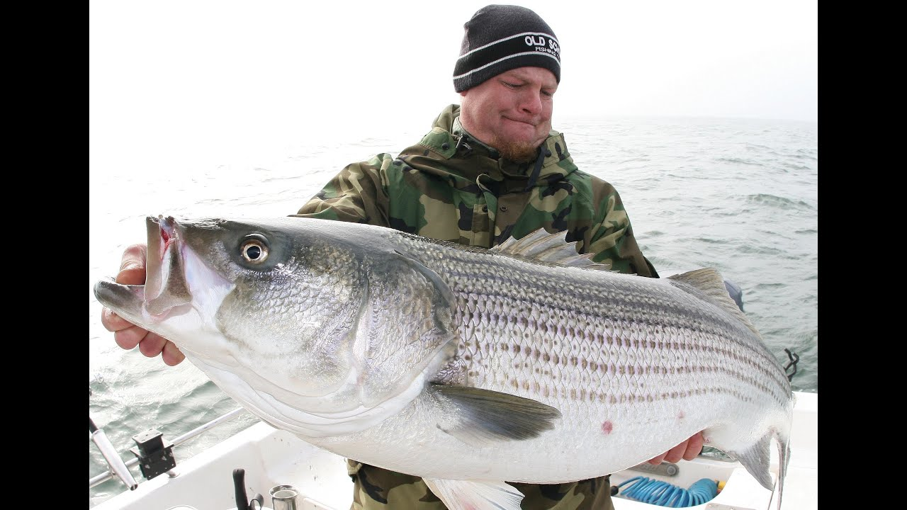 30 40 50 pound stripers big striped bass fishing catch for Striper fish pictures