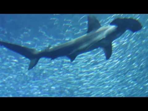 Cá mập ăn thịt người rùng rợn