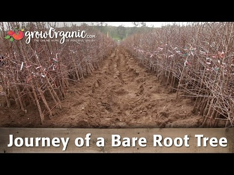 The Journey Of A Bare Root Tree