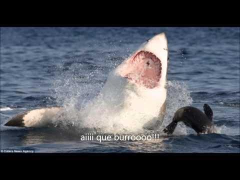 Foca se equilibra em focinho de tubarão e escapa de ataque