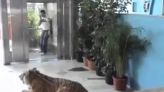 Broma con tigre 2013