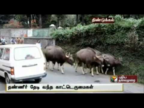 Wild Buffaloes disrupt traffic in Kodaikanal