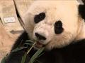 DC Zoo Says Bye Bye to Bao Bao the Giant Panda