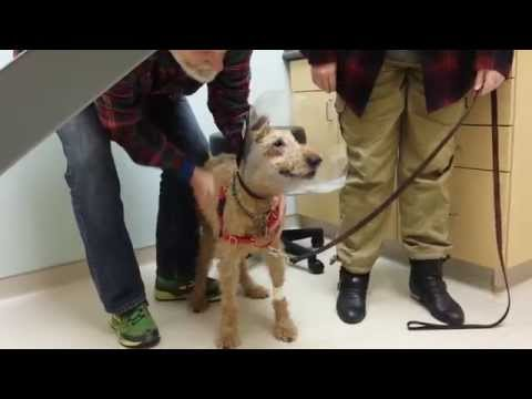 Formerly blind dog Duffy seeing the family after surgery