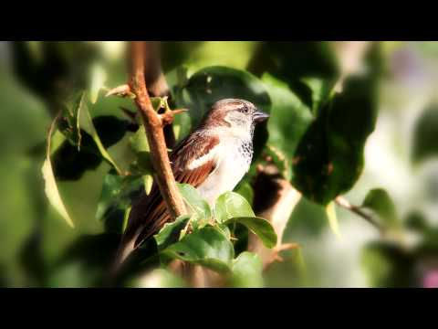 Canon EOS 500D Shooting Bird Whistle - Eurasian Tree Sparrow (Passer montanus)