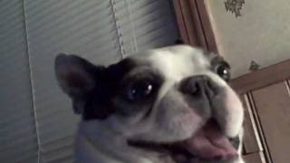 Boston Terrier Dog Likes His Belly Tickled! Funny Face