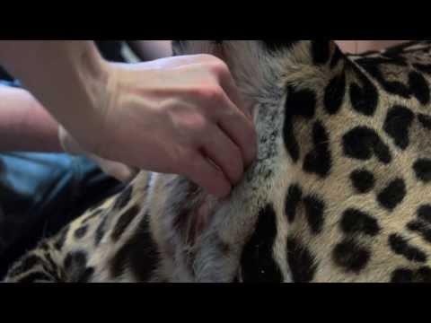 cesarea jaguar