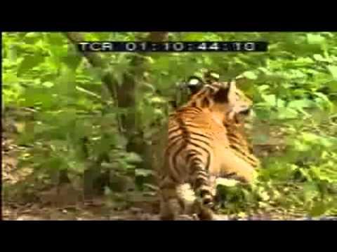 1 con khỉ đánh 2 con hổ  ghê thiệt