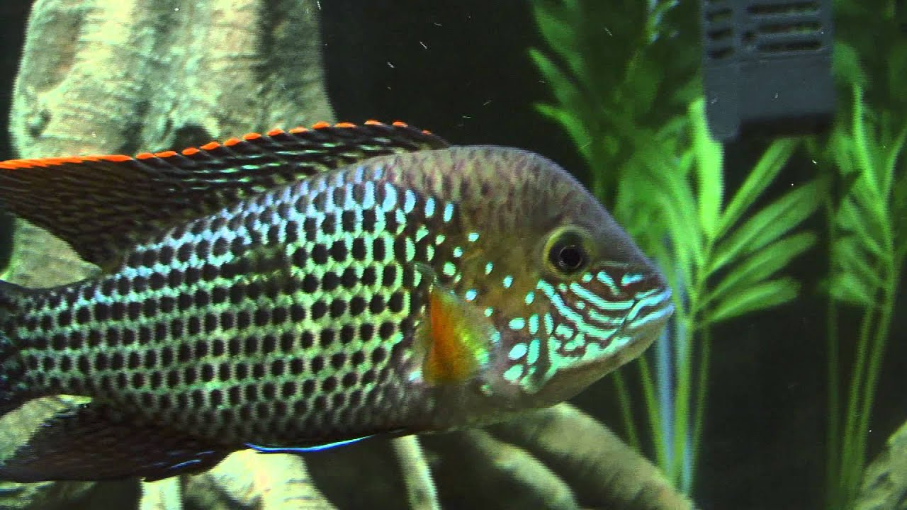 Green Terror Cichlid - YouTube