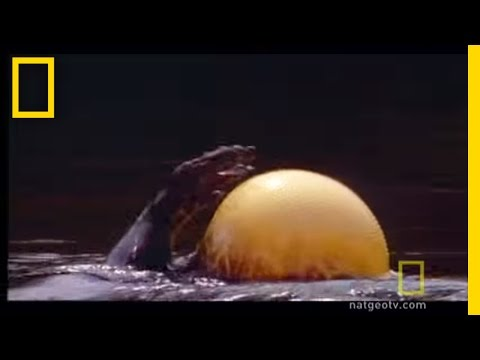 Puffer Fish, Is it a water balloon? A fish? A poisonous pill? It's all three actually. See All National Geographic Videos http://video.nationalgeographic.com/video/?sourc...