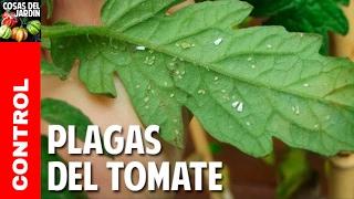 Plagas del Cultivo de Tomate