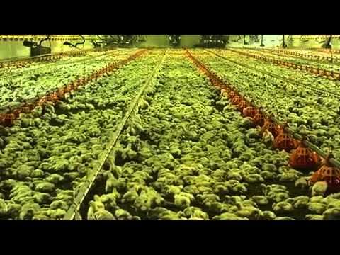 ¿Sabes de donde vienen los pollos que llegan a tu mesa?