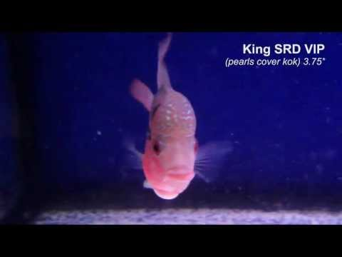 King SRD VIP Juvee around 3.75inches pearls cover kok