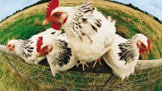 شوف الصحافة: الحكومة تسمح باستيراد 15 مليون كتكوت لخفض أسعار الدجاج  |