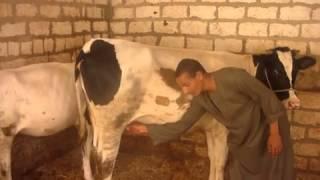 فيديو وصور.. البقرة المبروكة بالمنيا تدر لبناً يشفي فيروس سي دون أن تلد