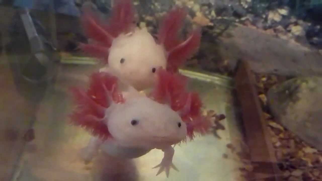 Axolotl download movie pictures photos images