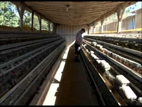 Criação de codornas - Programa Rio Grande Rural