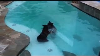 Pareja de osos nadando en la piscina