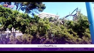 بعد شجرة ساحة ماريشال..أقدم شجرة فحي المعاريف فكازا طاحت (فيديو) | بــووز