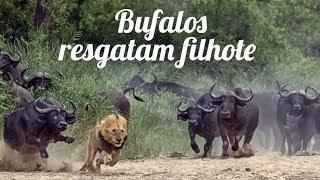 Planeta Animal: Bufalos Resgatam Filhote Atacado Por Leão