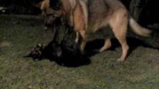 Dog Fight: Doberman/rottweiler Puppy Vs German Shepherd