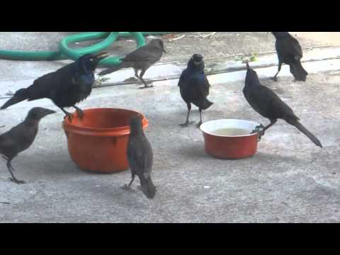 Hilarious and Ironic Video of Several Black Birds Eating the Cat Food While the Cats Watch