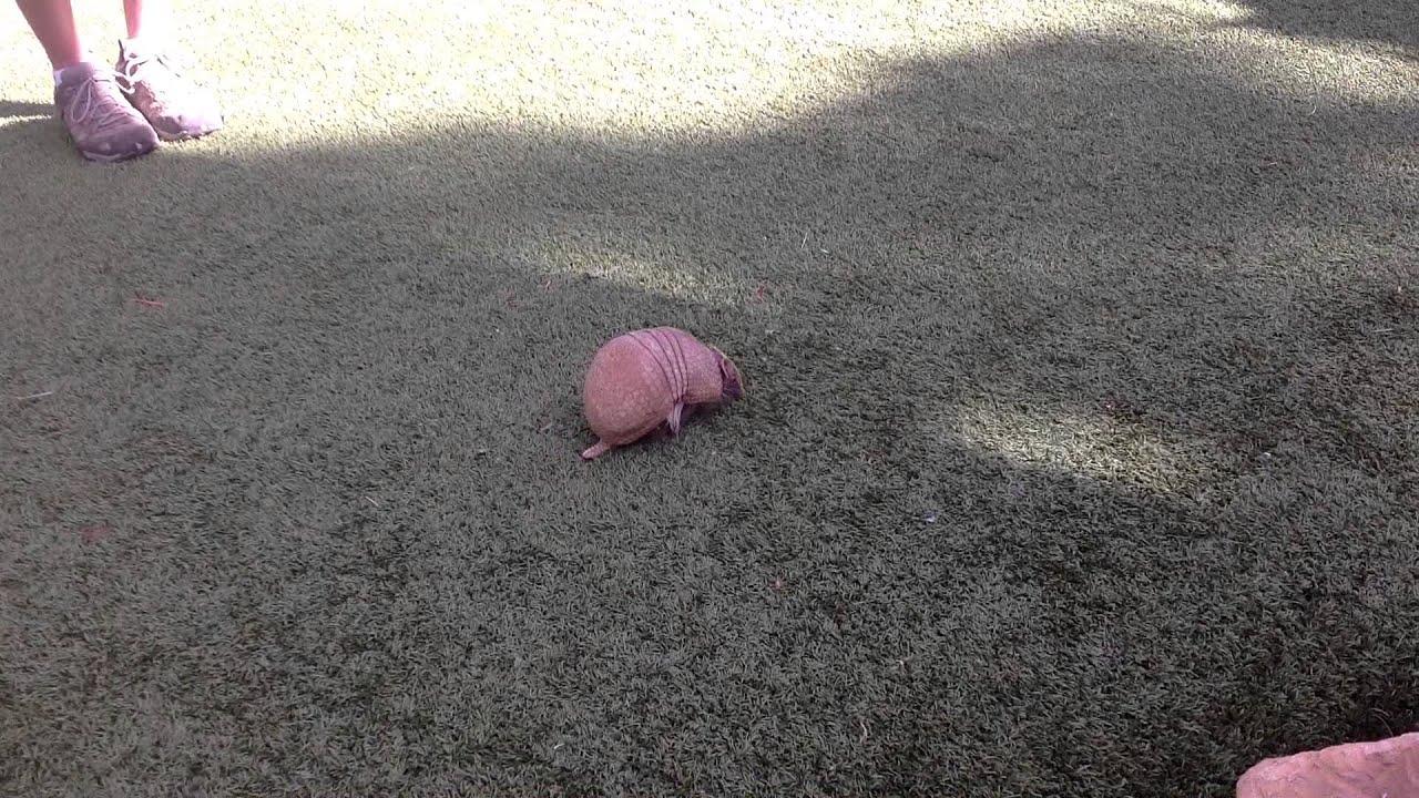 Pink fairy armadillo pet - photo#1