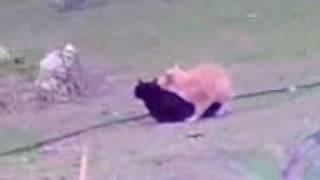 Gatos Follando