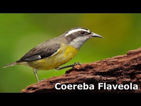 Coereba Flaveola (Bananaquit \ Cambacica)