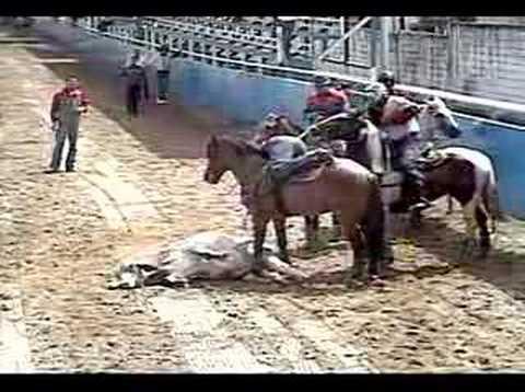 toros coleados guarico
