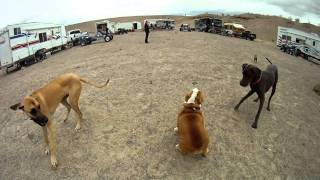 English Bulldog Vs Great Dane