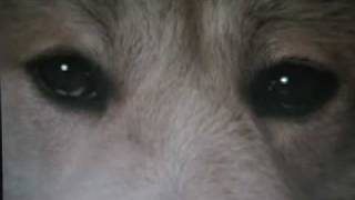 Hachiko Monogatari Bittersweet (Akita Dog)