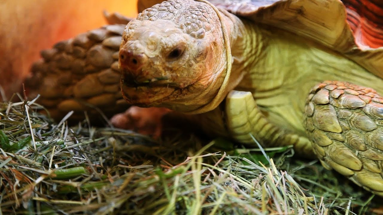 Whats a Sulcata Tortoise? Pet Turtles - YouTube
