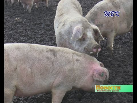 Зимовье свиней. Подопечных свиноводческого комплекса в Искитимском районе переводят в тёплые боксы