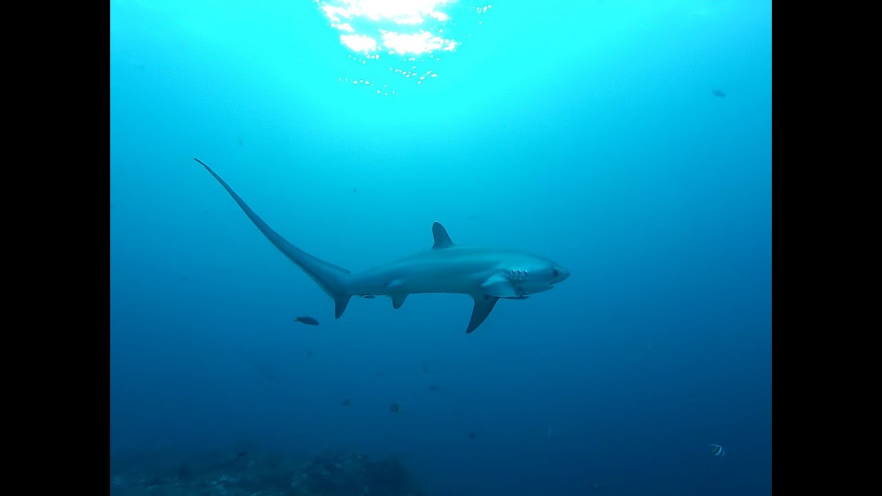 Displaying 19 gt  Images For - Thresher Shark Jumping   Thresher Shark Jumping Out Water