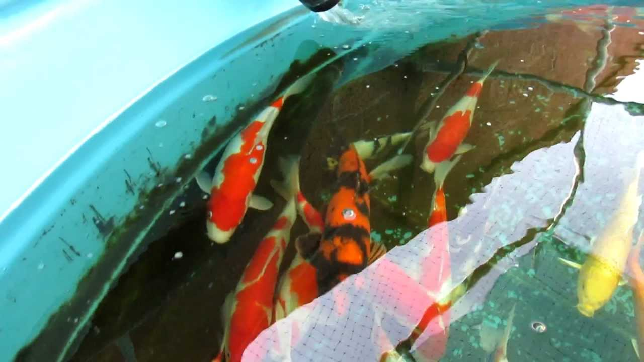 Japanese koi fish for sale youtube for Koi fish cost