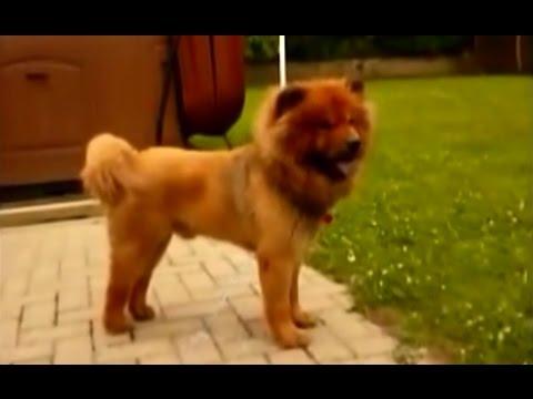 Chow Chow Lion Cut Chow chow lion cut