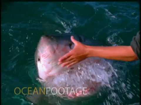 Наместо да бега и спасува жива глава од големата бела ајкула, човеков реши да ја гали?!