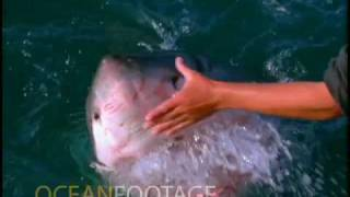 Man Pets A Great White Shark From The Side Of A Boat