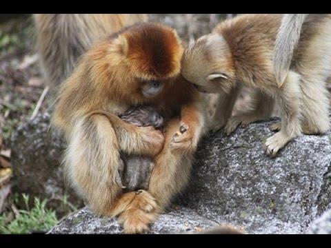 Chuyện có thật - Bất ngờ loài khỉ biết đỡ đẻ cho nhau
