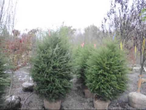 Growing Canadian Hemlock Trees