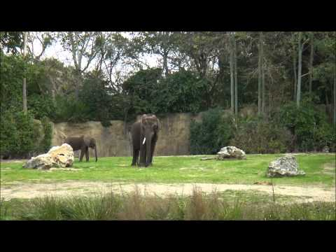Kilimanjaro Safaris, Animal Kingdom, Walt Disney World, (HD) - Winter