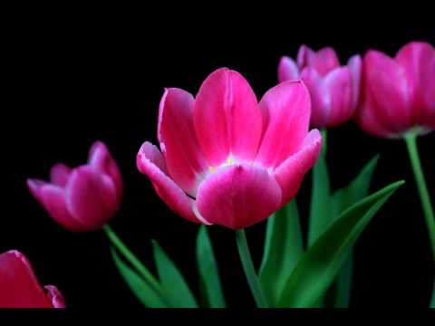 Time lapse tulips blooming