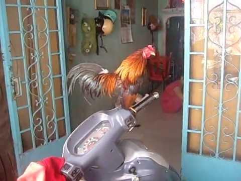 Gà tre cũa MR Dũng cần mua gà gì cứ alo 0966 326 946 !!!