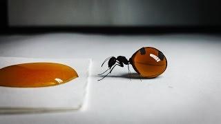 Queen of Honey Ants Drinks Honey