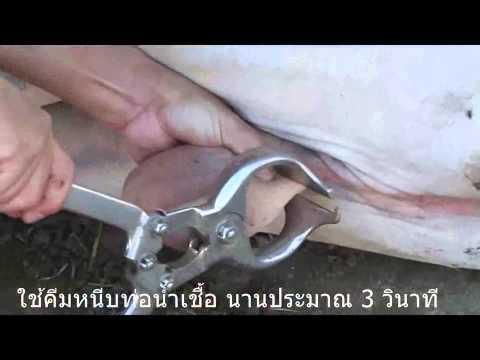 เทคนิคการตอนโค By Chayut Dongpaleethun