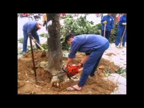 Hà Nội mùa vắng những cây xanh (chế) Son La Đô