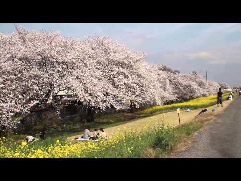 2014 Cherry blossoms in Japan. 埼玉県熊谷市,熊谷桜堤